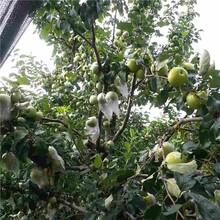 攀枝花市嘎啦蘋果苗種植方法圖片