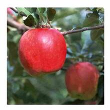 博尔塔拉润太一号苹果苗种植方法图片