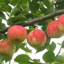 鹤壁市3公分苹果树信誉厂家图片