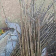 銅仁市M26矮化蘋果苗市場行情圖片
