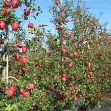 中卫市柱状苹果苗批发图片