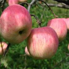 嘉峪关市大果光苹果苗-开元苗木图片