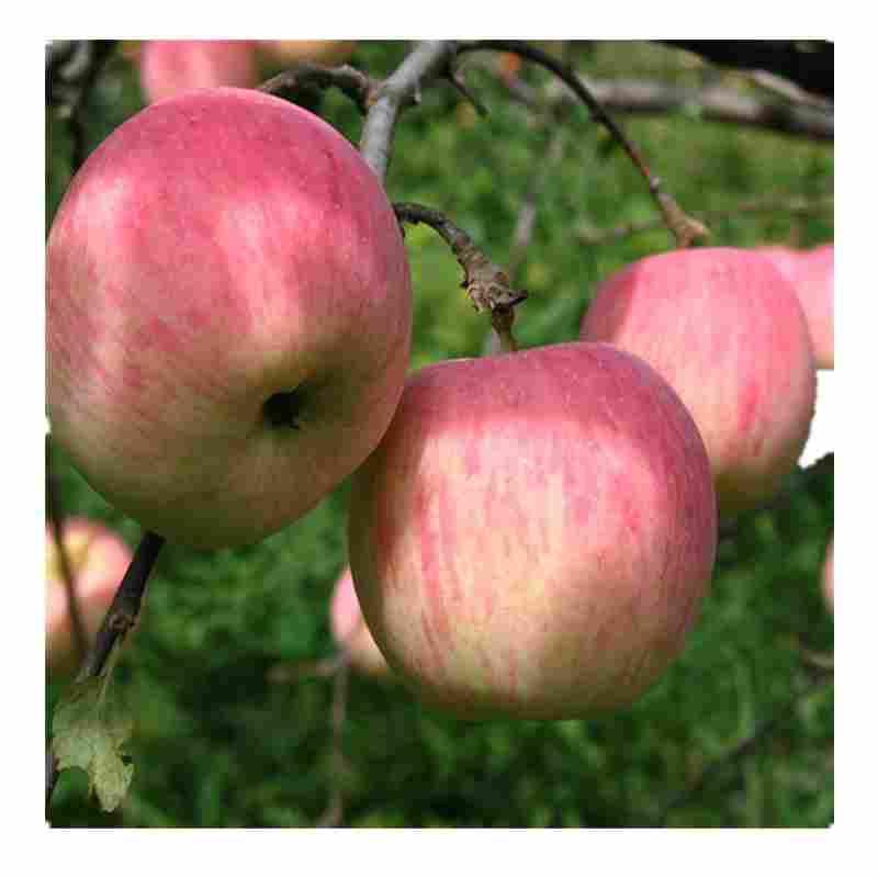 安陽市紅肉蘋果苗公司報價