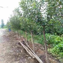 伊春市泰山早霞苹果苗种植方法图片
