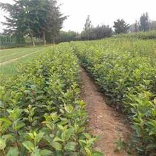 塔城响富苹果苗种植方法图片