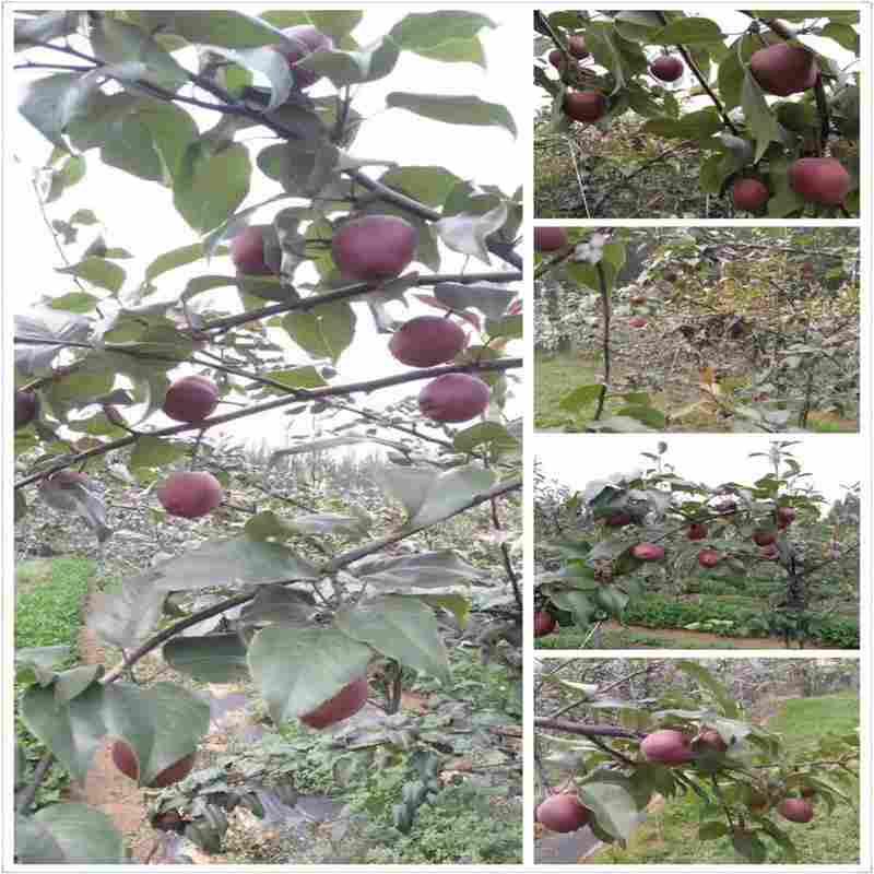 M25矮化蘋果苗-開元苗木