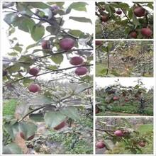 西安市中秋王苹果苗种植方法图片