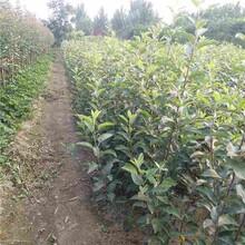 枣庄市自根砧苹果苗种植方法图片