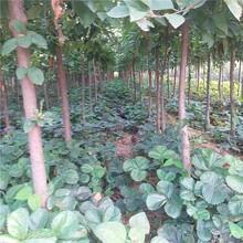安徽省黑苹果树苗厂家图片
