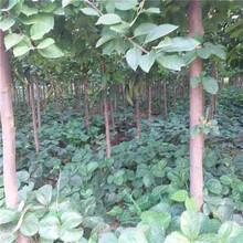 三明市红色之爱苹果苗市场行情图片