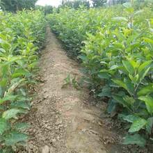 贵港市柱状苹果苗种植方法图片