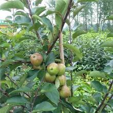 巴彥淖爾市中秋王蘋果苗供應廠家圖片