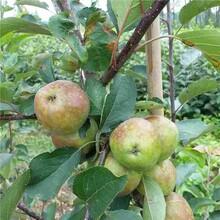 金华市红富士苹果苗种植方法图片