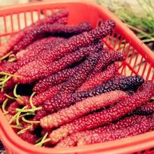 黄树莓苗公司报价图片