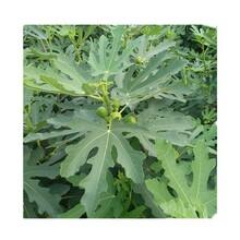 江门市海沃德猕猴桃苗种植方法图片