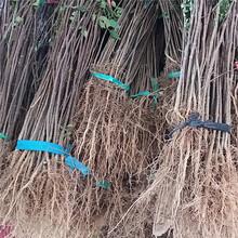 台州市3公分花椒树诚信商家图片