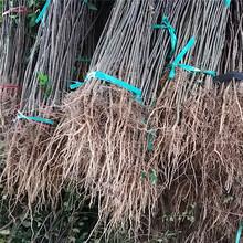 新余市香椿树信誉厂家图片