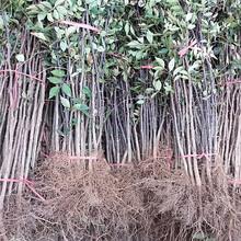 长治市3公分花椒树/泰安开元园艺场图片