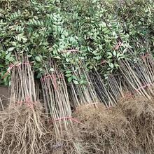 山西省營養杯花椒苗種植方法圖片