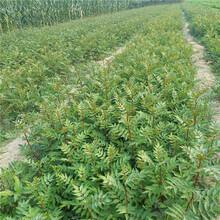 玉林市红椒苗种植方法图片