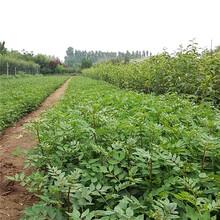 懷化市泰山紅香椿苗-開元苗木圖片