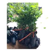 江门市菜椿苗供应厂家图片