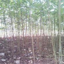 南宁市红油香椿苗供应厂家图片