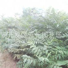 荆州市1公分花椒苗价格图片