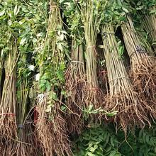 石家庄市香椿树价格图片