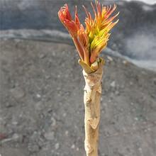 黃山市菜椿苗市場行情圖片