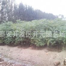 遂宁市香椿树价格图片