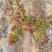 香椿树-软枣猕猴桃图片