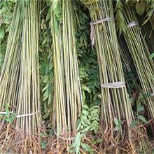 梅州市1公分香椿苗-开元苗木图片
