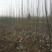 河南省8518核桃苗公司报价图片