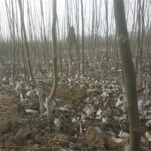 临沂市清香核桃苗信誉厂家图片
