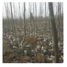 忻州市核桃原生苗-開元苗木圖片