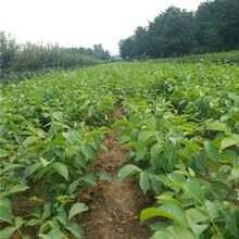 强特核桃苗种植方法图片
