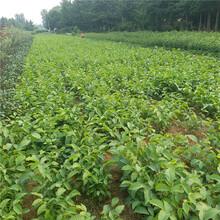 忻州市核桃樹苗信譽廠家圖片