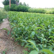 德州市遼核1號核桃苗種植方法圖片
