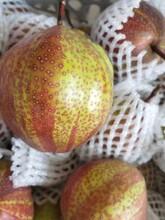 荆州市水晶梨树苗什么品种好?图片
