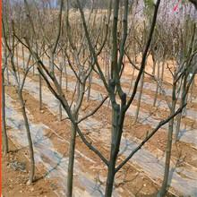 吉林省丰水梨树苗价格图片