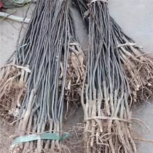 萍乡市红香酥梨树苗供应厂家图片