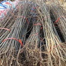 自贡市梨树实生苗批发图片
