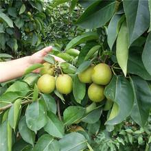 苏州市梨树小苗怎么种植?图片