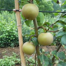 曲靖市2公分梨树苗什么时候种植好?图片