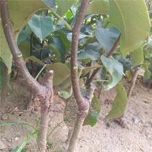石家庄市白酥梨树苗成活率怎么样?图片