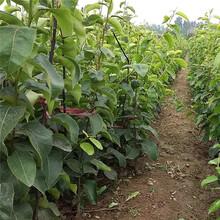 长治市2公分梨树苗种植方法图片