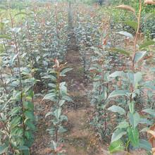 河源市澳红梨树苗签合同保品种图片