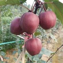 佛山市绿宝石梨树苗成活率怎么样?图片
