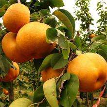 陕西省澳红梨树苗供应厂家图片